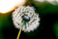 Dandelion with seeds in front of the sun in the evening close-up_ royalty free stock photos