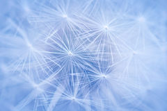 Dandelion seeds Stock Image