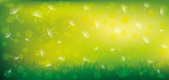 Dandelion seeds and grass. Dandelion seeds and grass on a green background Stock Photos