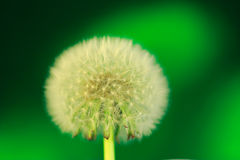 Dandelion seeds, on green Stock Image