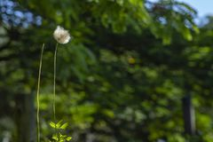 Dandelion seeds in the green background. Detail of the silhouette. White dandelion on a green background stock photos