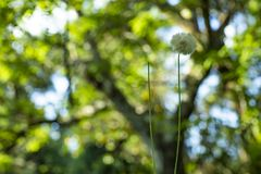 Dandelion seeds in the green background. Detail of the silhouette. White dandelion on a green background royalty free stock photo