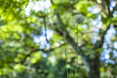 Dandelion seeds in the green background. Detail of the silhouette. White dandelion on a green background stock photo