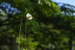 Dandelion seeds in the green background. Detail of the silhouette. White dandelion on a green background royalty free stock photos