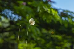 Dandelion seeds in the green background. Detail of the silhouette. White dandelion on a green background royalty free stock image