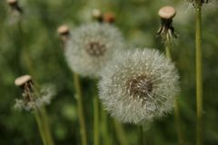 Dandelion Seeds. In a green field near the town of Flam, Norway Royalty Free Stock Photo