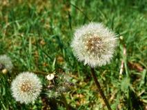 Dandelion seeds in a green field stock image