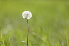 Dandelion seeds with green grass background Stock Photo
