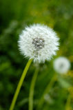 Dandelion with seeds, green grass and flowers. Stock Images