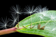 Dandelion seeds on green leaf Stock Photos