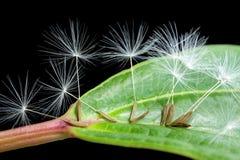 Dandelion seeds on green leaf stock photos