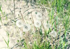 Dandelion seeds grow on the sand royalty free stock image