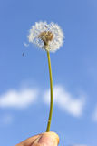 Dandelion with seeds in hand Stock Photo