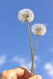 Dandelion with seeds in hand Royalty Free Stock Photography