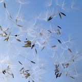 Dandelion Seeds In Blue Back Stock Images