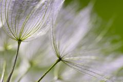 Free Dandelion Seeds In Close Up Stock Images - 51251234
