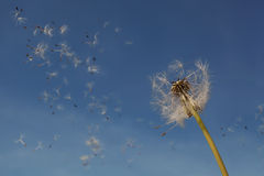 Dandelion Seeds In The Air. Stock Image