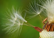 Dandelion seeds. A insect in dandelion seeds Stock Photography