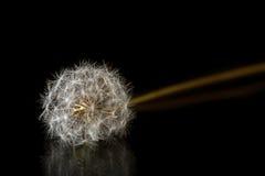 Dandelion seeds isolated on black. Dandelion seeds isolated on a black background royalty free stock images