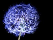 Dandelion seeds lit. In the dark Royalty Free Stock Image