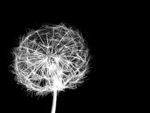 Dandelion seeds lit. In the dark Stock Photography