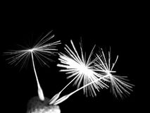 Dandelion seeds lit. In the dark Royalty Free Stock Photo