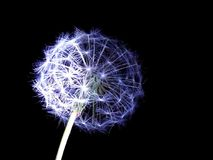 Dandelion seeds lit. In the dark Stock Photo