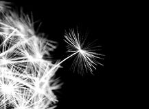 Dandelion seeds lit. In the dark Royalty Free Stock Photos
