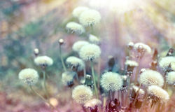 Dandelion seeds lit by sun rays Stock Image