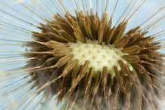 Dandelion seeds (macro) Royalty Free Stock Photo