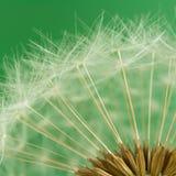 Dandelion seeds (macro) Stock Image