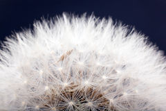 Dandelion seeds macro Stock Images