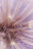 Dandelion seeds macro Royalty Free Stock Images