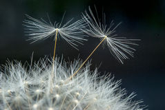 Dandelion seeds macro Royalty Free Stock Photography