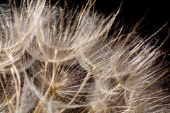 Dandelion seeds macro Royalty Free Stock Photo