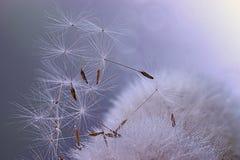 Dandelion seeds macro ease. Blue stock photography