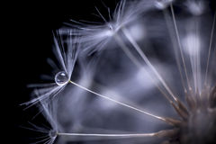 Dandelion seeds macro Royalty Free Stock Photo