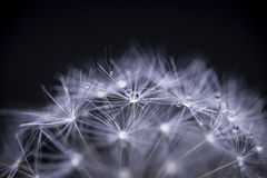 Dandelion seeds macro Royalty Free Stock Images