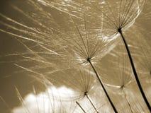 Dandelion seeds 77, macro Stock Image