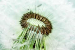 Dandelion seeds Stock Photography