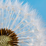 Dandelion seeds macro view. Blue background. Macro view. Royalty Free Stock Images