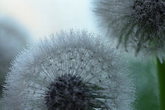 Dandelion seeds macro Stock Image