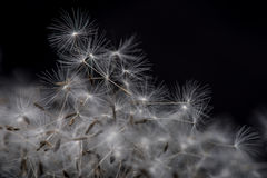 Dandelion seeds. Stock Images