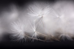 Dandelion seeds. Stock Photo