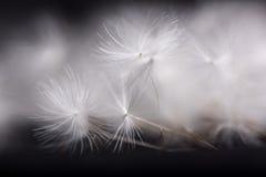 Dandelion seeds. Many dandelion seeds on a black background Stock Photo