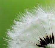 Dandelion seeds. marco Stock Image