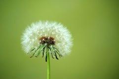 Dandelion seeds. marco Stock Photos