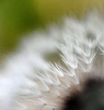 Dandelion seeds. marco Royalty Free Stock Photo
