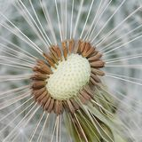 Dandelion seeds. Middle of a dandelion Royalty Free Stock Photo