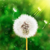 Dandelion seeds in the morning sunlight blowing away across Royalty Free Stock Photography